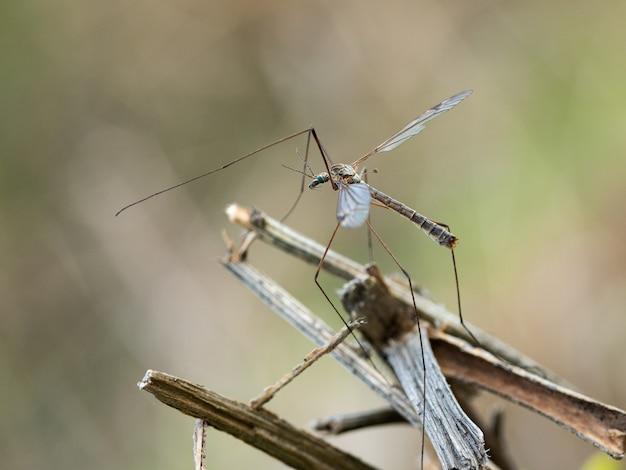 La mosca della gru è un nome comune che si riferisce a qualsiasi membro della famiglia degli insetti tipulidae.