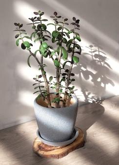 Crassula ovata. albero dei soldi in vaso blu morbido nella luce del giorno. concetto di pianta d'appartamento minimalista.