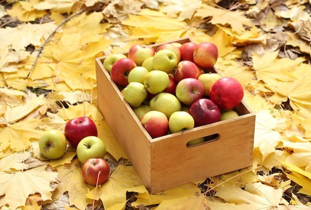 Cassa di mele mature fresche in giardino su foglie d'autunno