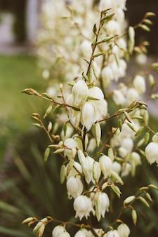 Fiori color crema sul gambo del fiore, fiori bianchi cremosi sul ramo fiorito con cieli blu chiaro, fiori giallastri sul gambo fiorito in giardino