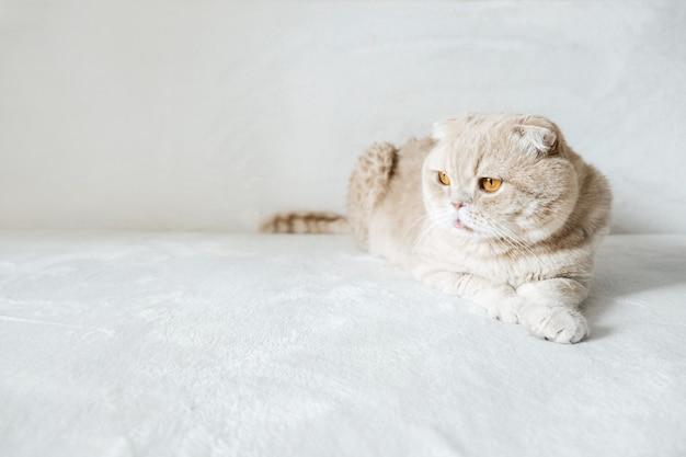 Gatto scozzese crema con occhi arancioni su divano bianco morbido a casa gatto scozzese adulto su bianco