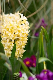 Giacinto giallo cremoso, hyacinthus orientalis - giacinto comune, olandese o da giardino