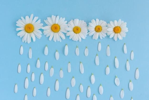 Sfondo creativo fatto di fiori di camomilla su bckground blu. pioggia fatta di petali di fiori che cadono dal cielo.