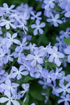 Brunch di fioritura creativo dei fiori di subulata del flox di vista superiore in giardino