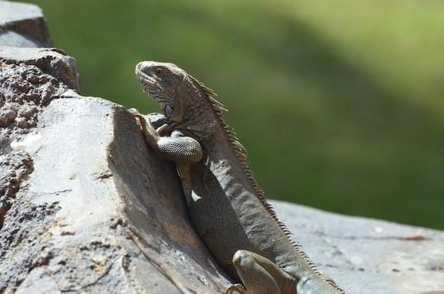 Iguana comune strisciante su una roccia grigia ad aruba.
