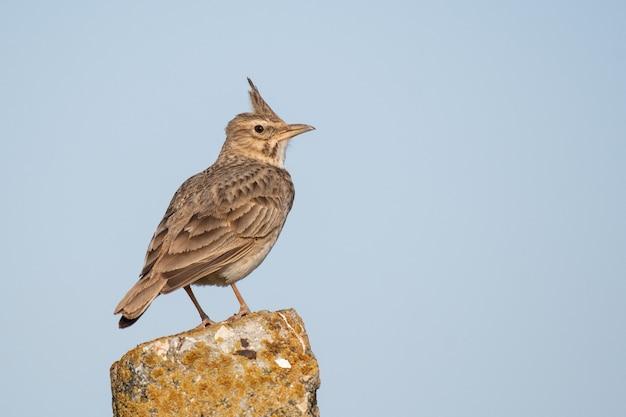 Un'allodola crestata galerida cristata. un uccello si siede su un palo di pietra,