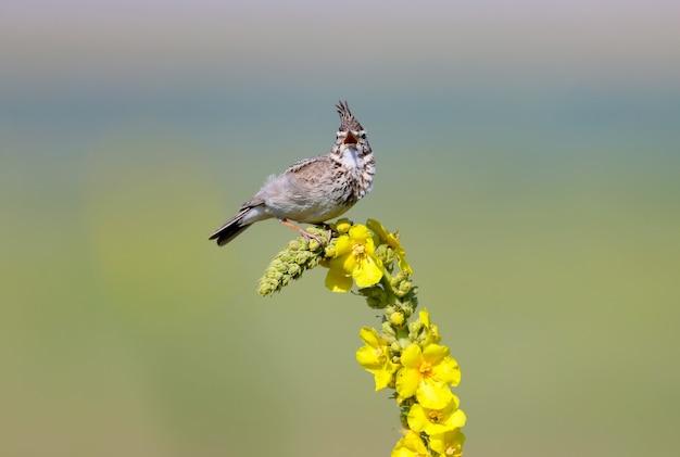 Crested lark si trova su una pianta di colore giallo brillante
