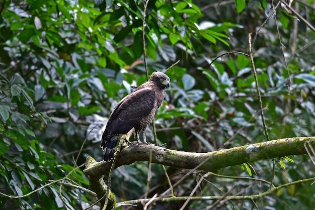 Crested serpent eagle in appoggio su un pesce persico nella foresta, thailandia