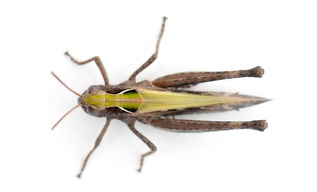 Cricket su sfondo bianco