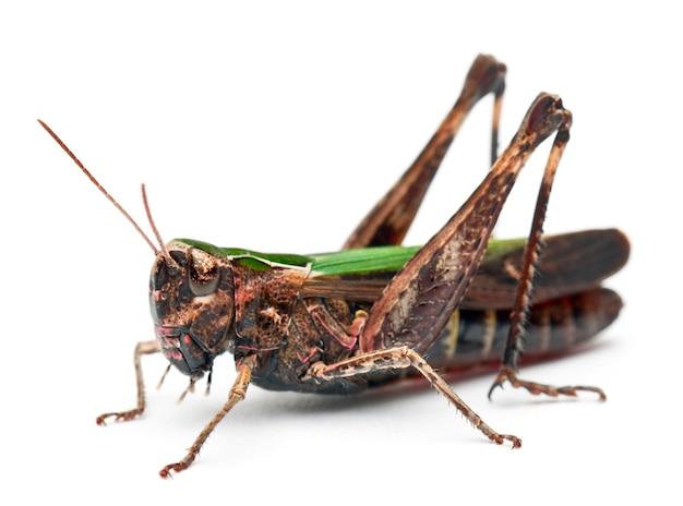 Cricket isolato