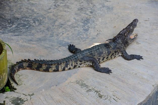 Crocodile.crocodiles in appoggio alla fattoria di coccodrilli in thailandia.