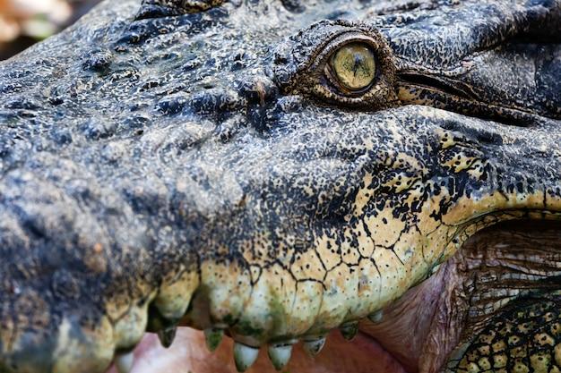 Occhio di coccodrillo