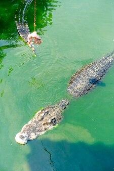 Alimentazione del coccodrillo