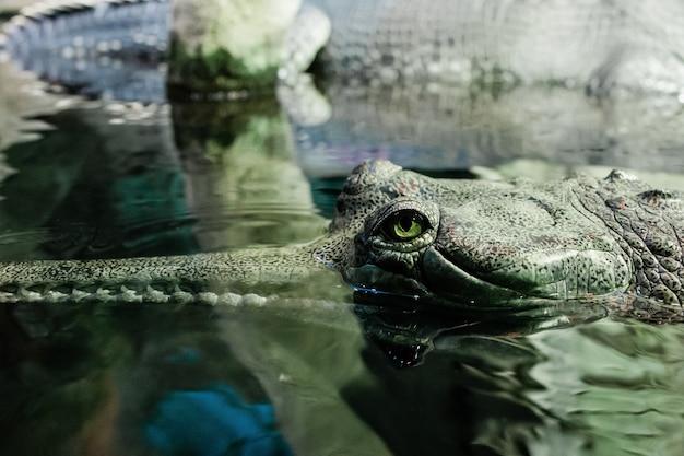Il coccodrillo gaviale indiano in acqua nello zoo. primo piano della testa di un gharial