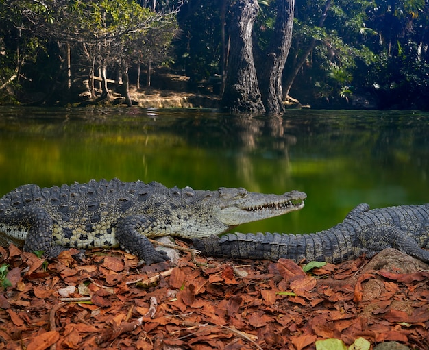 Photomount di coccodrillo messico riviera maya