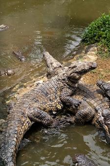 Crocodile park sull'isola di mauritius. parco naturale la vanilla coccodrilli.