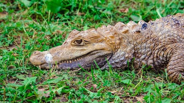 Ritratto di coccodrillo nell'erba predatore nell'erba