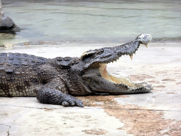 Vista laterale del coccodrillo