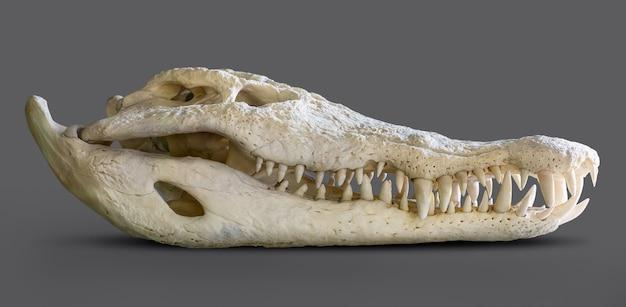 Cranio di coccodrillo isolato