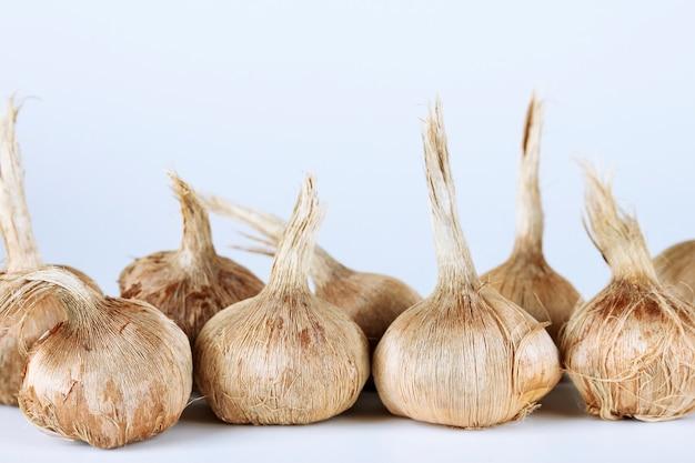Bulbi di croco sativus. bulbi per piantare lo zafferano, per ottenere lo zafferano speziato più costoso.