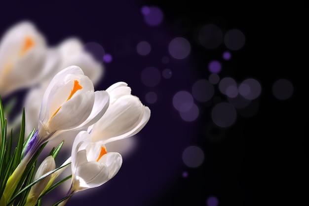 Crocus fiori primaverili su uno sfondo scuro