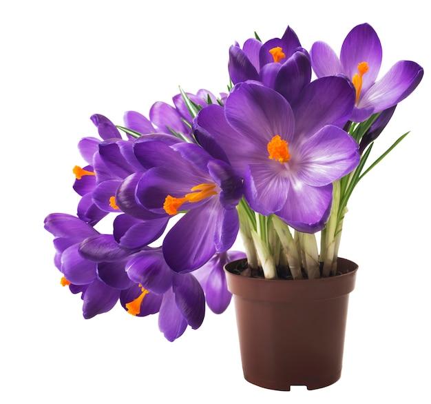 Crocus su sfondo bianco. fiori freschi di primavera.