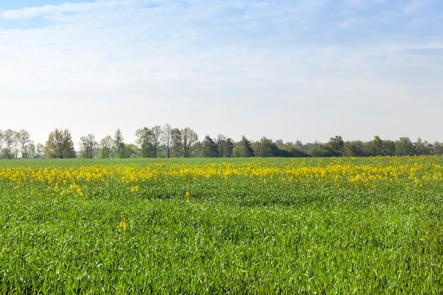 Raccolto di colza in fiore su uno sfondo di cielo azzurro.