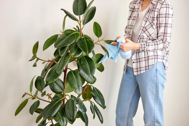 Giardiniere femminile ritagliato che pulisce la polvere dalle foglie delle piante d'appartamento, prendendosi cura della pianta usando un umidificatore e uno straccio. concetto di giardinaggio domestico.
