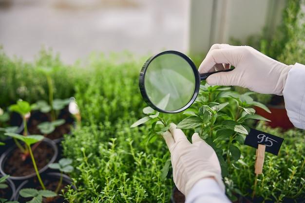 Foto ritagliata di una botanica in guanti di lattice usa e getta che esamina le piantine di basilico con una lente d'ingrandimento
