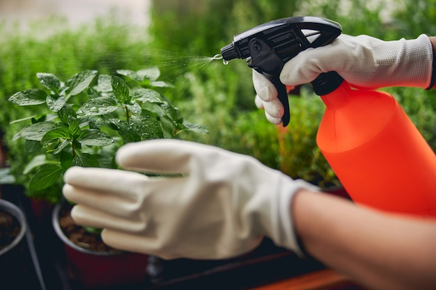 Foto ritagliata di mani guantate che spruzzano piantine di basilico con acqua da un flacone spray di plastica
