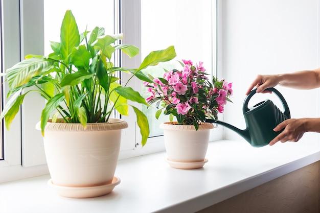 Colpo ritagliato delle mani delle donne che innaffiano una pianta di casa con un annaffiatoio verde sul davanzale della finestra