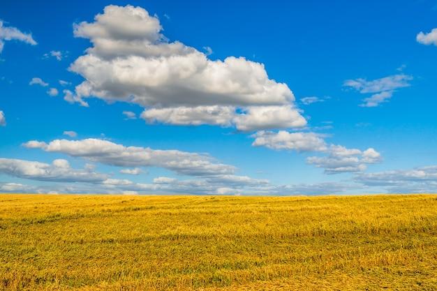 Spighe di grano tagliate sul campo dopo il raccolto.