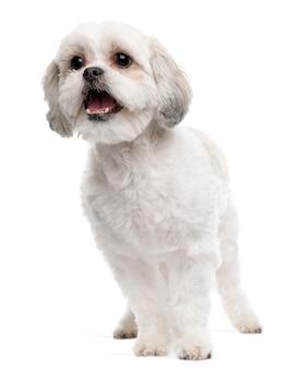 Cane di razza incrociata, 5 anni, in piedi davanti al muro bianco