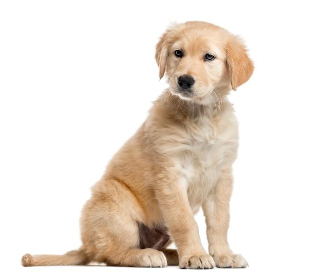 Cucciolo di labrador di razza incrociata, seduto e guardando lontano dalla fotocamera, isolato su bianco