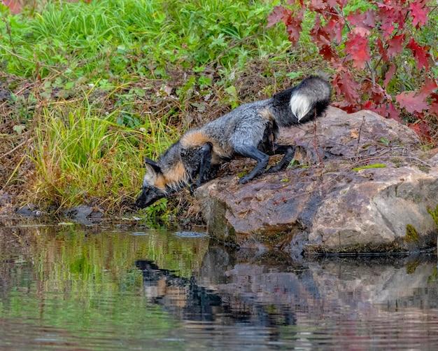 Cross fox in autunno con riflesso nell'acqua
