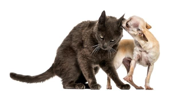 Gatto e chihuahua dell'incrocio che giocano insieme