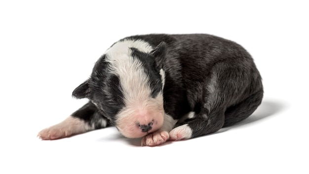 Cucciolo di incrocio isolato su bianco