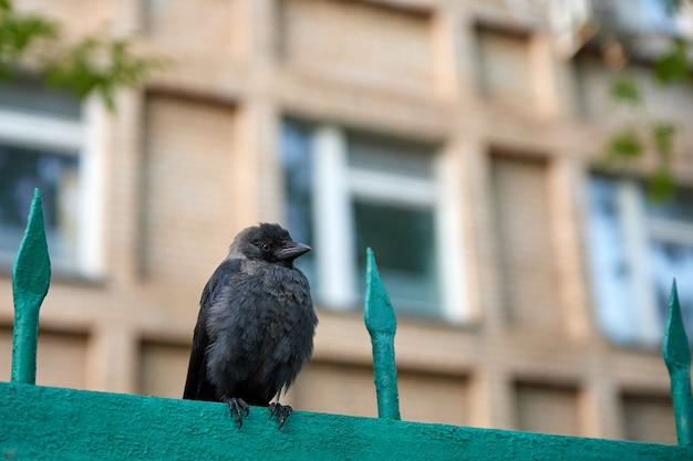 Pulcino di corvo sul recinto sullo sfondo dell'edificio