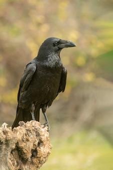 Crow appollaiato su un ramo