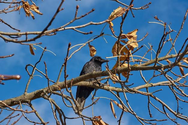 Un corvo siede su un ramo di castagno nella piazza del paese.