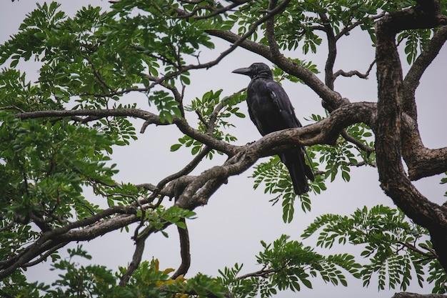 Crow seduto su un ramo di un albero per riposare o in cerca di una vittima.