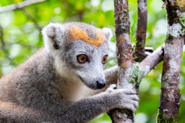 Il lemure corona su un albero nella foresta pluviale del madagascar