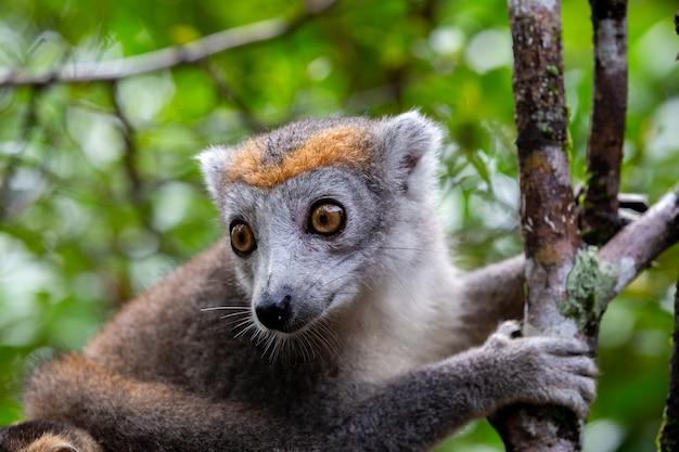 Lemure corona su un albero nella foresta pluviale del madagascar