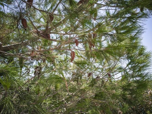 Corona di pino marittimo durante il periodo estivo