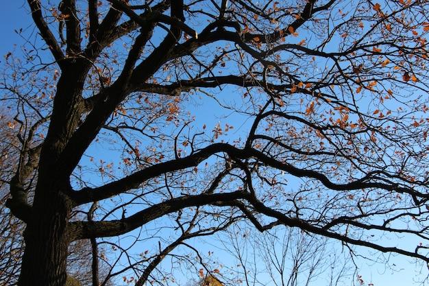 La corona di una quercia con le foglie cadute sullo sfondo di un cielo azzurro brillante