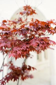 Corona di un albero con foglie rosse sullo sfondo di un edificio