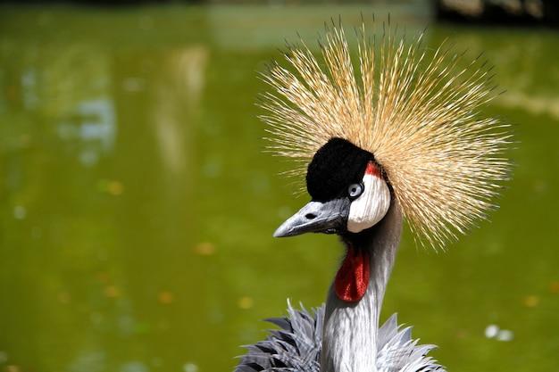 Incoronato con una corona d'oro sullo sfondo verde dell'acqua allo zoo