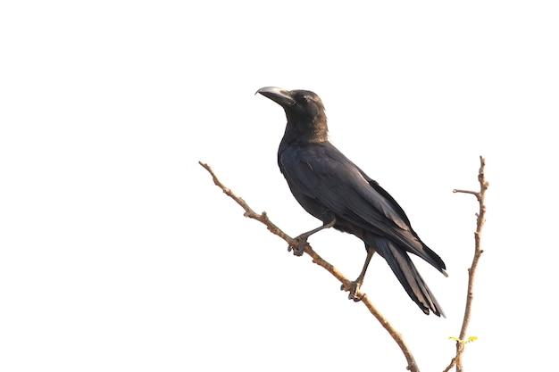 Corvi su un ramo isolato. uccelli. animali selvaggi.