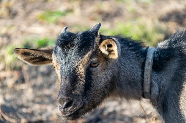 Cu testa di una vecchia capra