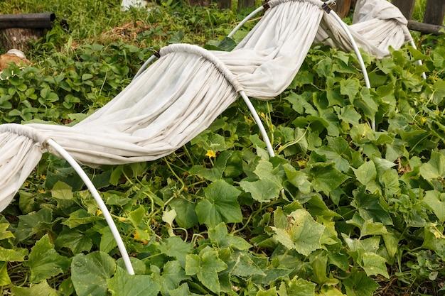 Letto di cetriolo nell'orto un letto con materiale bianco per proteggere le piante dal freddo